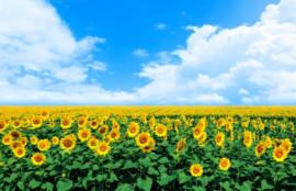 ひまわり畑と青い空